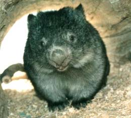 photo of a wombat crossing the road